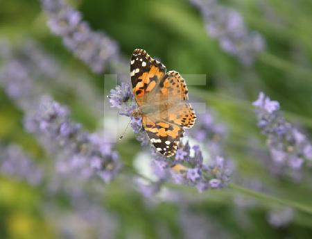 Distelfalter auf Lavendel