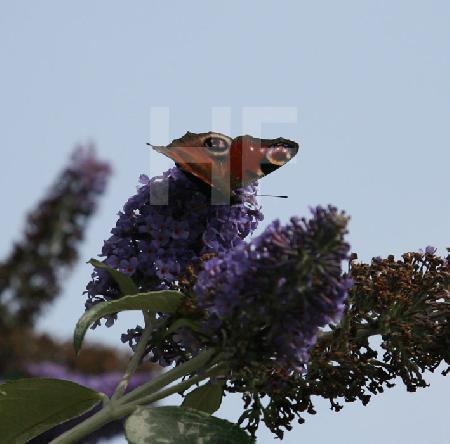 Tagpfauenauge am Schmetterlingsbaum
