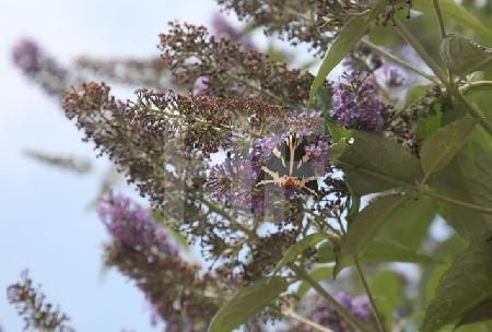Russischer Bär (Bärenspinner) an einem Schmetterlingsbaum