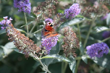 Tagpfauenauge an Schmetterlingsbaum