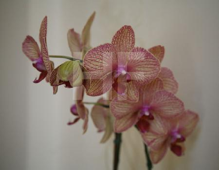 Rotgeaderte Orchidee