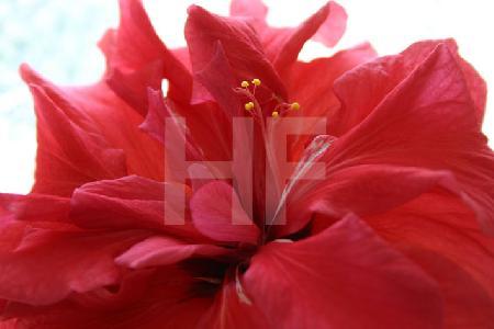 Rote Hibiskusblüte vor Fenster