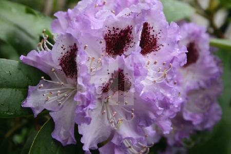 Blüte einer lila Rhododendron