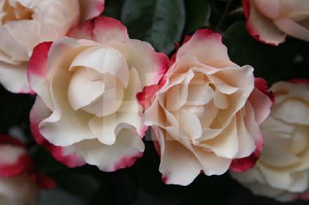 Weiße Rose mit roten Blatträndern