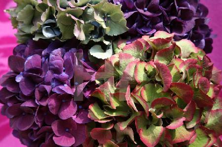 Violette, blaue und rotgrüne Hortensien (Querformat)