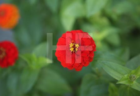 Rote Blüte einer Zinnia-Hybride