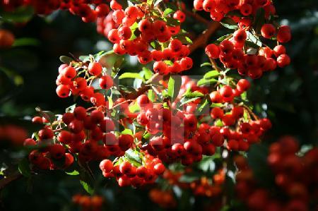 Cotoneaster (Zwergmispel)-Zweige mit orangen Beeren