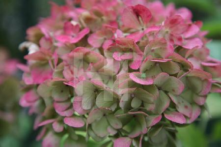 Verblassende rosa Hortensie