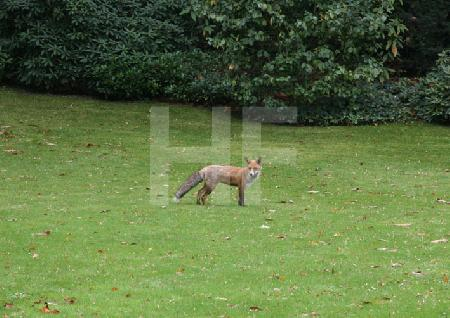 Fuchs in einem privaten Garten (2)