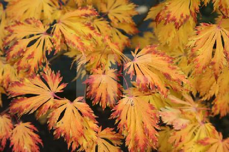 Herbstlaub eines Zierahorns