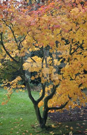 Zierahorn im Herbst