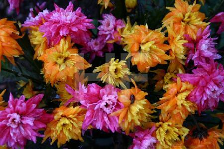 Verregnete Friedhofsblumen, pink-orange