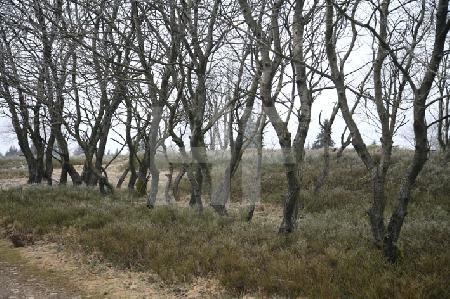 Birkenreihe auf dem Kahlen Asten im Februar