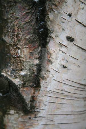 Stamm einer Birke, auf dem Kahlen Asten im Februar