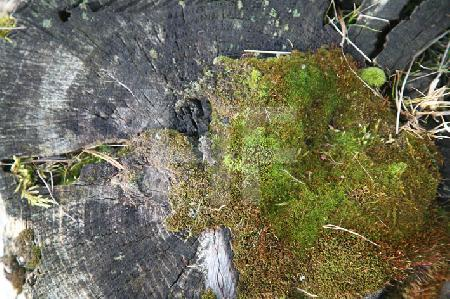 Moos auf einem schwarzen Baumstumpf