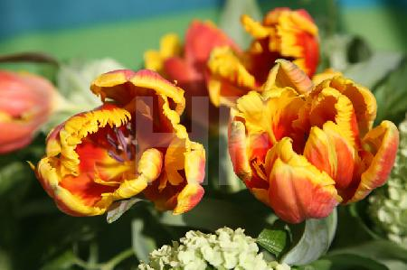 Orange Papageientulpen und Schneeball (Querformat)