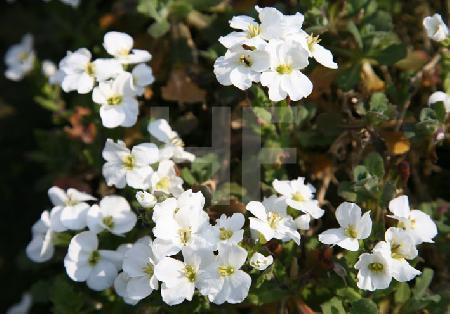 Erste Blüten eines Bodendeckers