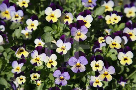 Violett-gelbe Stiefmütterchen