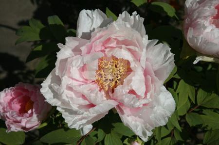 Rosa Riesenpäonien