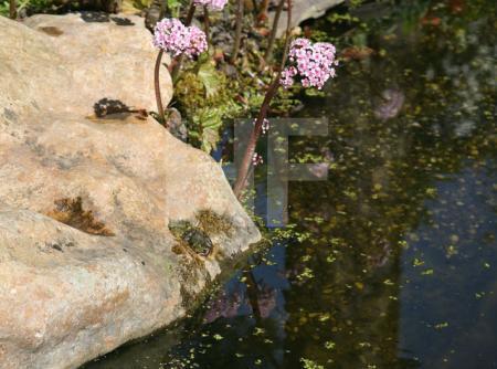 Frosch sonnt sich am Teich