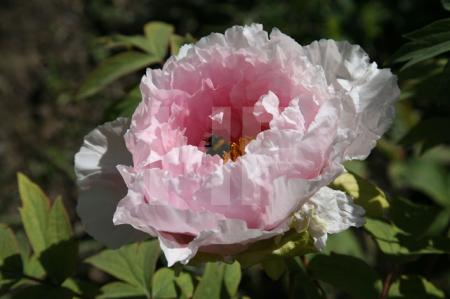 Hummel in rosa Riesenpäonie