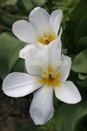 Zwei weit geöffnete weiße Tulpen