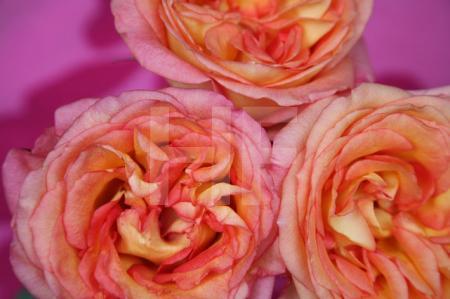 Drei aufgeblühte Rosen