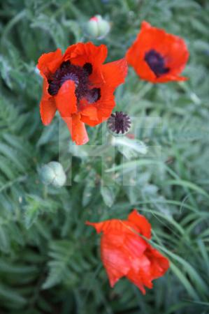 Roter Mohn (3)