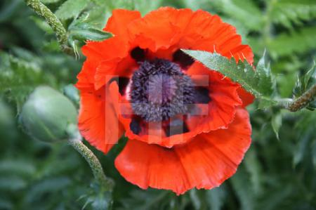 Roter Mohn (4)
