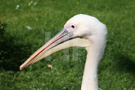 Pelikan im Kölner Zoo