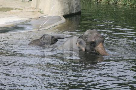 Marla badet mit ihrer Mutter; Elefantengehege im Kölner Zoo, 2007