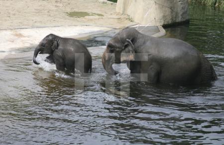 Marla und ihre Mutter verlassen das Wasser; Elefantengehege im Kölner Zoo (2007)