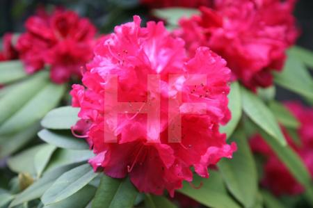 Pinke Rhododendron