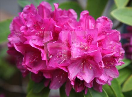 Violette Rhododendron
