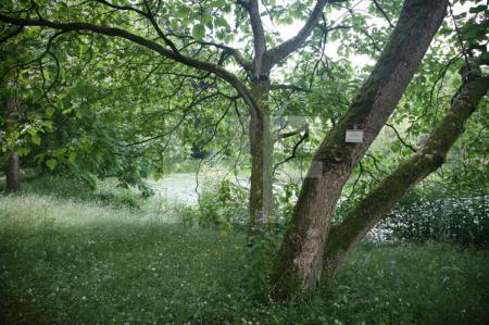 Trompetenbaum im botanischen Garten in Münster