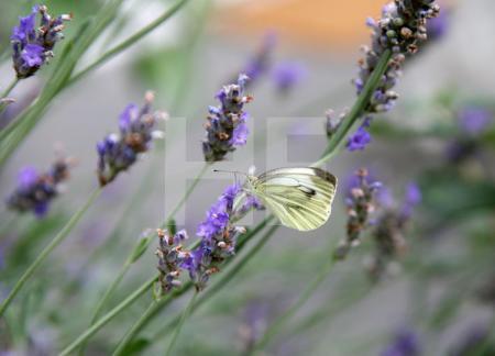 Kohlweißling an einer Lavendelblüte