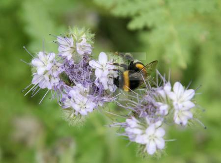 Hummel an Nigella-Blüte (Jungfer im Grünen)