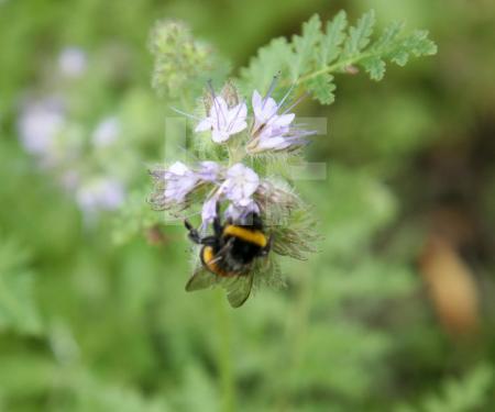 Hummel an Nigella-Blüte (Jungfer im Grünen) (2)