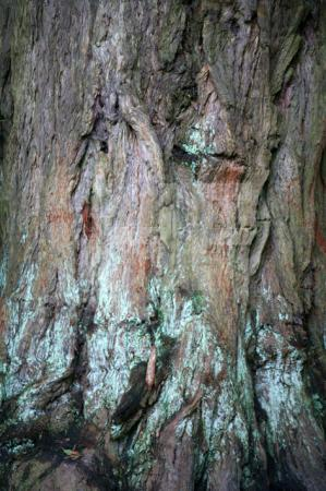 Baum im Park von Stourhead, Wiltshire (2)