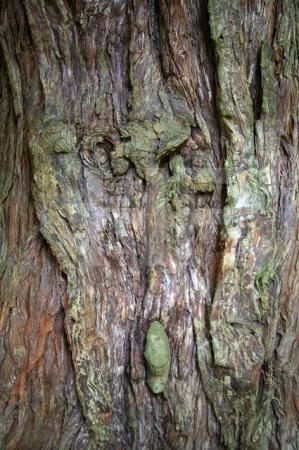 Baum im Park von Stourhead, Wiltshire (3)