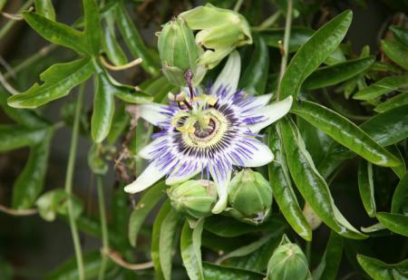 Klematis-Blüte