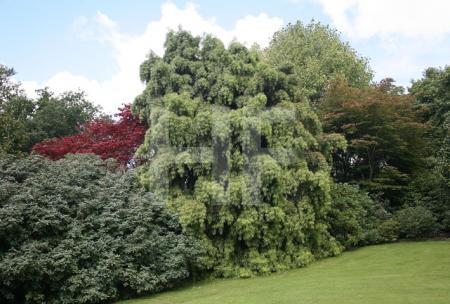 Baumgruppe, Lanhydrock, Cornwall (13)