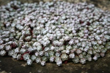Sedum spathulifolium (Fetthenne) , Cornwall