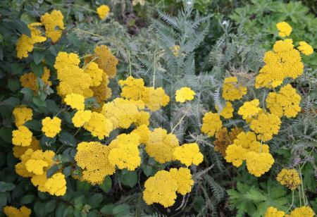 Gelbe Schafgarbe (Achillea), Somerset