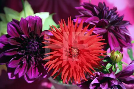 Violette und rote Dahlien