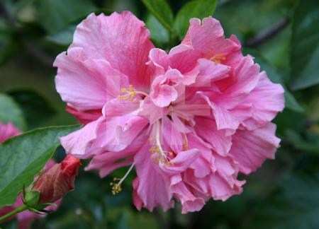 Rosa Hibiskusblüte und -knospe