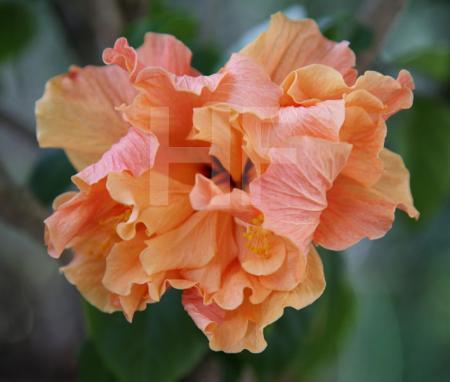 Orange Hibiskusblüte