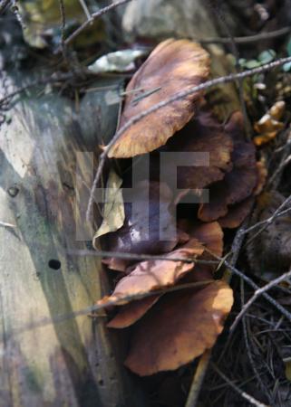 Tannentramete an einem toten Baum