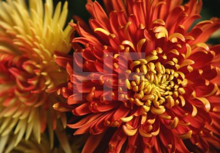 Gelbe und rote Chrysanthemen