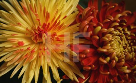 Gelbe und rote Chrysanthemen (2)
